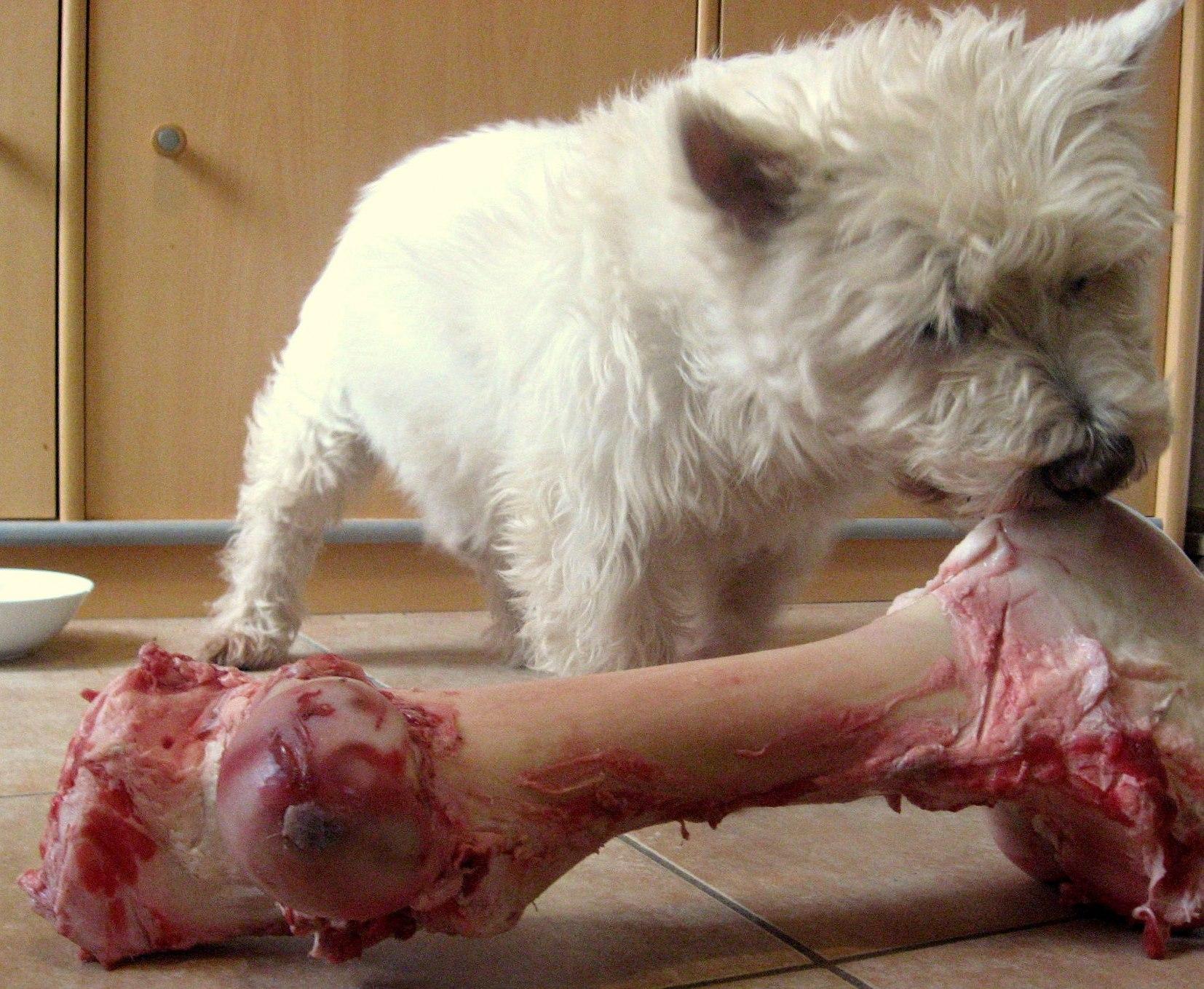 Donner des os à son chien ? Oui mais… - Toutouandyou