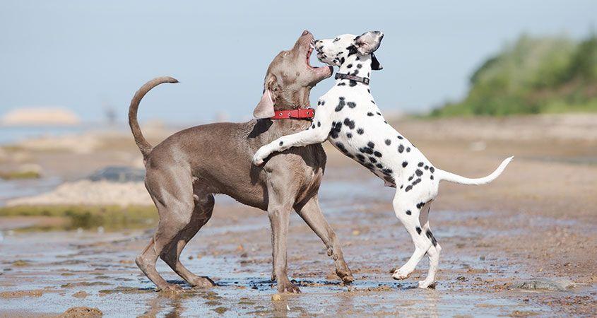 dalmatien et braque se battent