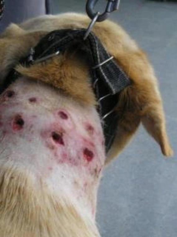 blessures torquatus.jpg