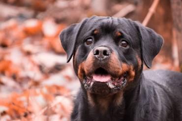 Habilitation pour chiens catégorisés